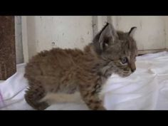 ▶ Chips the Baby Bobcat - YouTube