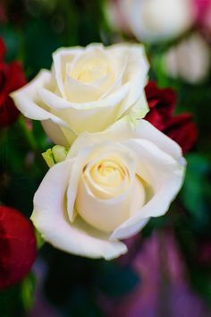 Photograph White roses by Mark Achilles Villanueva on 500px