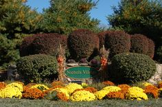 This is a nice use of hardy mums to create a fall display at the entrance to a community. Learn all about mums here: http://landscaping.about.com/od/landscapecolor/p/chrysanthemums.htm