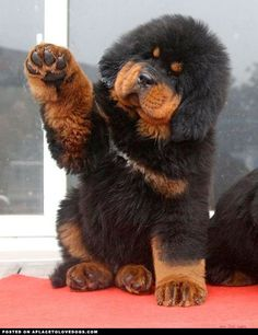 Tibetan Mastiff Puppy •   Don't you just want to snuggle him!!