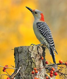 •(❤)• red bellied woodpecker •(❤)•    (these are not supposed to be in Maine, but they have been in my backyard for several seasons, so they must be moving north)