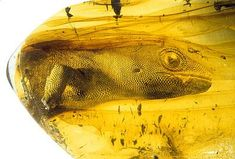 The ancient gekko Yantarogekko balticus, c 54 million years old, preserved in Baltic amber.
