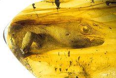 @TetZoo The ancient gekko Yantarogekko balticus, c 54 million years old, preserved in Baltic amber.