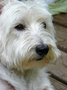 Hublore: The Westie Rules