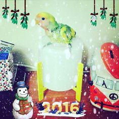 Tomris'in ilk Yılbaşısı. 🎄🎁🎅🏻 💚Tomris - 31.12.2015 📸 #Christmas #Happy #NewYear #Tomris #Oburiks #TomrisOburiks #sevdapapağanı #cennetpapağanı #forpus #agapornis #petphotography #animalsofinstagram #birdsofinstagram #agapornisofinstagram #lovebirdsofinstagram  #lovebird #instabird #birdlovers #petbird #parrot #parekeet