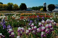 Iris farm Michigan #puremichigan
