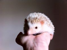 "My Hedgehog, Nugget, Being Photogenic…  ---  I wish I had a hedgehog named ""Nugget""..."