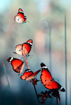 Discovered by kimlion. Find images and videos about butterfly, nature and red on We Heart It - the app to get lost in what you love. Beautiful Creatures, Animals Beautiful, Beautiful Bugs, Beautiful Butterflies, Simply Beautiful, Belle Image Nature, Moth Caterpillar, Butterfly Kisses, Red Butterfly