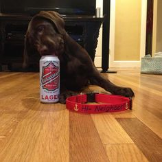 """Gansett just enjoying Friday  #rugbypup #hineighbor! #prfc  #notreallydrinkingit @gansettbeer #GansettPets"""