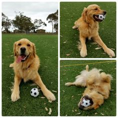 Charlie, play with his football! www.totallygoldens.com