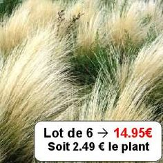 Graminée Stipe cheveux d'anges / Stipa tenuissima 'Ponytails' - http://www.leaderplant.com