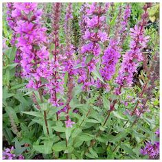 British Native Lythrum salicaria (Loosestrife) has purple flowers in whorls on woody stems. Sent rooted in mesh basket Pond Plants, Aquatic Plants, All Plants, Purple Flowers, Wild Flowers, Purple Loosestrife, Plant Order, Garden Landscaping, Garden Pond
