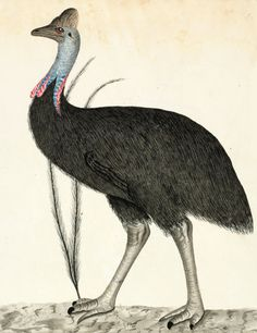 Southern cassowary, Casuarius casuarius by George Raper. Watercolour and ink, This cassowary lives in the rainforest of northern Queensland Women's March On Versailles, Fine Art Prints, Canvas Prints, Nature Illustration, Bird Pictures, Vintage Birds, Nature Images, Watercolor And Ink, Bird Art