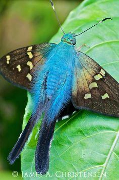 Esmeralda Longtail (Urbanus esmeraldus)