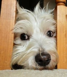 Watching us eat dinner. From the stair case :) Bearded Collie, Stair Case, Fluffy Dogs, West Highland White, White Terrier, Schnauzers, White Dogs, Scottish Terrier, Animals Of The World