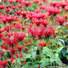 Red Bee Balm, Monarda didyma, Bee Balm