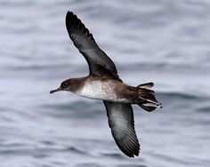 "July 9: ""Balearic shearwater, a close relative of the Manx shearwater, is in serious trouble. Globally, it is classified as Critically Endangered, the highest category of threat for any living species. In some cases, this means a 50% chance – the flip of a coin – of the species becoming extinct within ten years."" A Summer of British Wildlife; www.bradtguides.com #100dayswild"