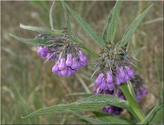 Symphytum Officinale -- learn more at www.seasonalhealth.com