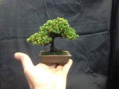 Alguns dos meus mames e Shohin..... Carmona Acer Tridente      bougainvíllea Spectabilis Fícus nerifolia ...