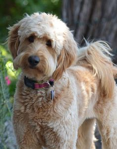 Maggie the Goldendoodle who looks just like my Cody