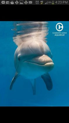 Winter the dolphin's story of survival has inspired millions of people. She has become an ambassador for rescue & rehab work at Clearwater Marine Aquarium. The Ocean, Ocean Life, Dolphin Images, Dolphin Photos, Dolphin Tale 2, Dolphin Art, Dolphin Trainer, Clearwater Marine Aquarium, Baby Dolphins