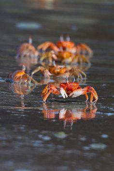 Red Ghost Crab - Santiago Island | Flickr: ¡Intercambio de fotos!