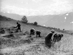 Simone Magnolini (1895/1982): Falciatura della segale - Contadini al lavoro. Luogo e data della ripresa: Borno (BS), Italia, 1919 - 1927