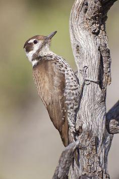 Picoides arizonae - dzięcioł arizoński - Arizona Woodpecker