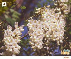 Já ouviu falar na acácia-branca? Ela é uma árvore de pequeno a médio porte, conhecida também pelo nome de moringa.  Suas flores perfumadas florescem o ano inteiro.