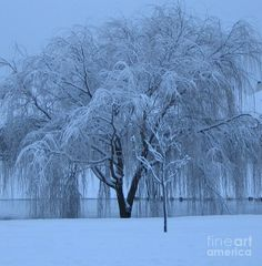 Winter Willow Tree Before Dawn_fort Worth_tx Photograph by Barbara ...