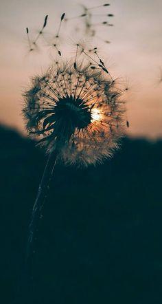 Wind flower a.k.a. dandellion