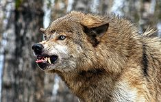 Coyotes, Wolf Growling, Snarling Wolf, Wolf Hybrid, Angry Wolf, Wolf Life, Wolf Pictures, Wild Wolf, Beautiful Wolves