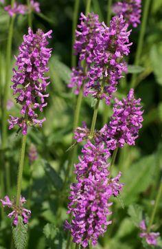 Wild-Flower-Herb-Betony
