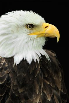 bald eagle. one of the most beautiful birds ever!
