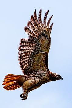 Red Tail Hawk Taking Off | PapaDunes | Flickr