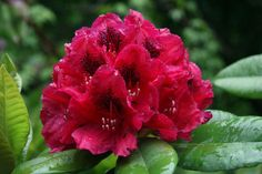 Product Description    Bloom Color:  Red    Bloom Season:  Late Season    Plant Height(potential in 10 years): Five Feet    Hardy to:  -10    Our quart size plants are plants in their second season.  They are usually about 5 to 6 inches tall and their roots fill a quart size container.  These plants are ready to go into the ground with a bit of extra care or can be transplanted into a two gallon container for further growth.    For shipping, I remove them from their quart container and…