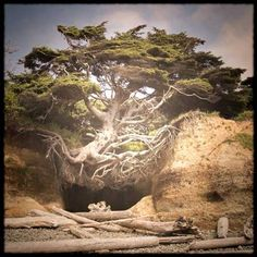 Floating Tree - on Kalaloch Beach - Olympic Peninsula - Washington State