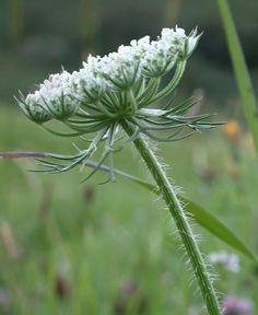 Living Afield - Queen Annes Lace Information (Daucus carota)