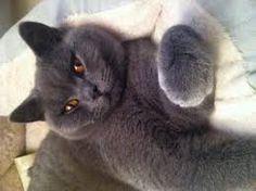 Resultado de imagem para british blue cats for sale