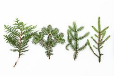 cedar, balsam, white spruce, black spruce  (mary jo hoffman)