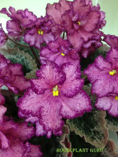 Houseplant Guru: Ohio African Violet Show and Sale - Buckeye Cranberry Sparkler