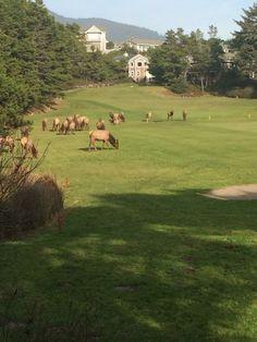 Elk grazing on the Manzanita golf course in Manzanita, OR. #northwestgolfer #manzanitagolfcourse