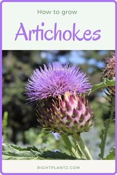 Cynara cardunculus Common Name: Artichoke Plant Story: Commonly called an artichoke, Cynara cardunculus features spiny leaves with violet-blue thistle-like flowers. The vegetable part of the plant is the unopen bud that contains the artichoke heart.  Type: Perennial Herbaceous Bloom Season: Summer Flower Color: Purple Planting Zone: 7-10 Click to learn more. Summer Flowers, Colorful Flowers, Growing Artichokes, Artichoke Plants, Heart Type, Zone 7, Different Plants, Growing Flowers, Garden Plants