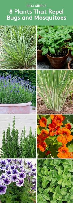 8 Plants That Repel Bugs and Mosquitoes | Grow these in your garden or plant them in a pot to keep the bugs away. #gardenpesttips