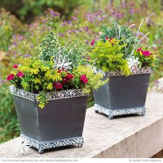 Winter container Garden | dianthus, lemon thyme, false cypress and white cedar