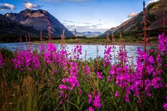 "Alaskan Fireweed Nenana River Photograph Print  ""Fireweed Summer"" 8x10 (or larger) Fine Art Photography"