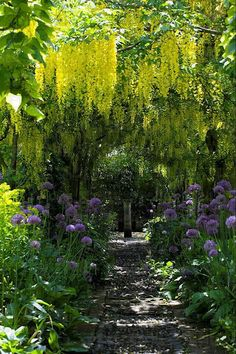 Yellow Wisteria... it's not, there's no such thing!  It's the Laburnum Walk, underplanted with alliums, at the late Rosemary Verey's home, Barnsley House.