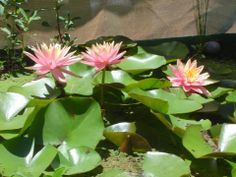 Water lily's are always a great addition to any pond #lily #pond #Tetrapond