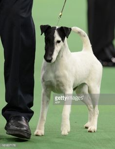 smooth fox terrier - Google Search