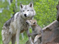 The ever new collection of wolf with cute baby best hd desktop wallpaper